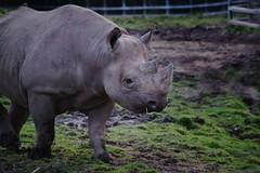Cool Rhyno (2) (afortiorama) Tags: animals zoo chester rhyno estremità