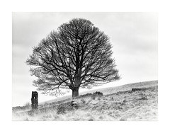 The Lone Tree (Missy Jussy) Tags: tree lonetree hillside drystonewalls wall field sky mono monochrome blackwhite blackandwhite bw canon canon70200mm canon5dmarkll piethornevalley landscape ogden lancashire northwest rochdale england