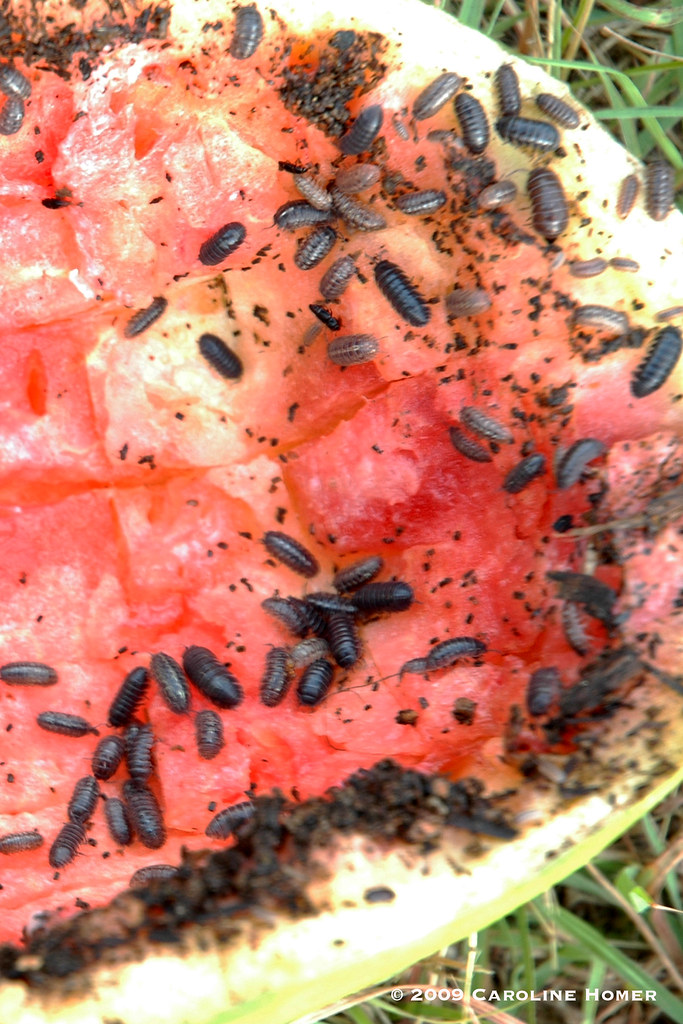 melon rind pill bug trap