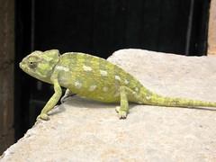 chameleon (stefelix) Tags: green nature animals reptile chameleon camaleonte rettile stefelix