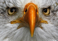 Look in my Eyes! (pe_ha45) Tags: adler baldeagle greifvgel specanimal superaplus aplusphoto weiskopfseeadler natureoutpost bestofmywinners greifvogelgehegehellenthal flickrawardgallery aboveandbeyondlevel1 blinksuperstars aboveandbeyondlevel2 aboveandbeyondlevel3