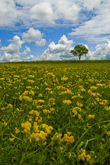 Nothing To Do On A Saturday (MattGerlachPhotography) Tags: flowers cloud tree field yellow clouds landscape alone lone summerafternoon mattgerlachphotography
