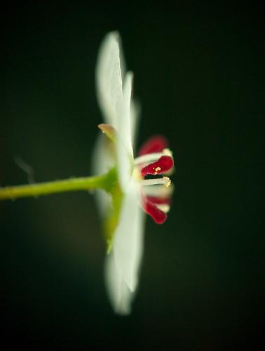 """Drosera """"Lake Badgerup"""" Flower"""