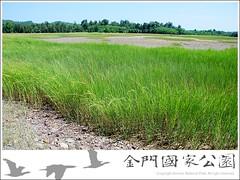 強勢互花米草使生態趨於單一化