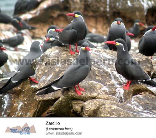 Zarcillo (Larosterna inca)