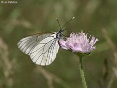 Black-veined white butterfly (underwing view) (LPJC) Tags: white butterfly bulgaria aporiacrataegi blackveined lpjc iliynariver