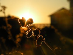 illuminate (cheska annelliese.) Tags: sunset sun field weed dof bokeh flare thingy illuminate sihlouette sunflare