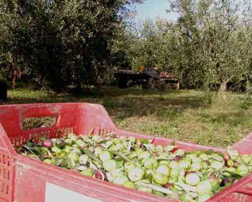 L'uliveto, olive di produzione biologica, olio extra vergine d'oliva