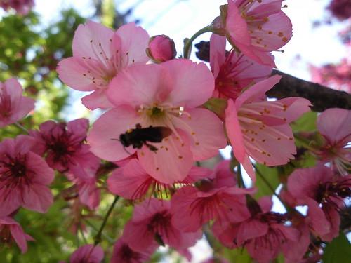 [Flores] Sakura (Cerejeira) nas ruas do Ahú em Curitiba por você.