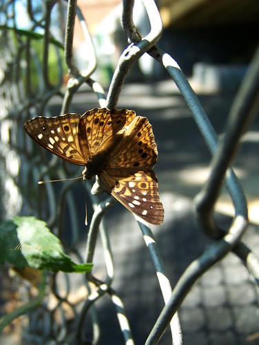 A Butterfly on A Fence