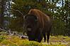 ADS_USA_000004088 (dickysingh) Tags: travel wild usa india west mammal buffalo tour cattle outdoor wildlife roadtrip aditya yellowstonenationalpark yellowstone bison singh americanbison dicky adityasingh ranthamborebagh theranthambhorebagh wwwranthambhorecom