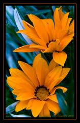 Dazzling Duo! (Deborah S-C (InTheFairyGarden)) Tags: flowers summer orange macro green leaves canon petals bright sunny foliage stems gazania colourful pollen perennial perfectpetals mywinners eos400d concordians unforgettableflowers unforgettableflowerscontest2 goldendiamondblog mamasbloomers deborahsc