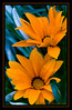 Dazzling Duo! (Deborah S-C -In The Fairy Garden! On/Off) Tags: flowers summer orange macro green leaves canon petals bright sunny foliage stems gazania colourful pollen perennial perfectpetals mywinners eos400d concordians unforgettableflowers unforgettableflowerscontest2 goldendiamondblog mamasbloomers deborahsc