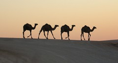 Camels at sunset (mike'sworld) Tags: sunset desert middleeast syria camels 2009 oilfield