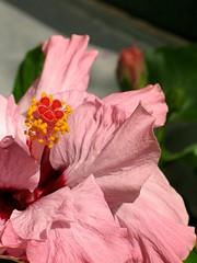 (Tölgyesi Kata) Tags: hibiscus hibiszkusz botanikuskert botanicalgarden füvészkert budapest withcanonpowershota620 ibisco ibisek chinesischerroseneibisch hibiskukset chineserose hibisken hibisco shoeflower hibiscusrosasinensis hibiskus zimmerhibiskus eibisch blüte blossom flower beautiful bungaraya rosemallow knospe bud buds gumamela ibiscus hibiscuswonder hibiskuswunder wwwhibiskuswunderde hibisk hibiscos ibištek ibišek gülhatmi chaba kembangsepatu swampmallow art tropical malvaceae exotic tropic tropisch pflanze blume hybiscus catchycolors europe garden photo photography photos summer yellow pink red blue green fiori fleurs flores blumen nature mályvacserje nyár fleur virág zöld