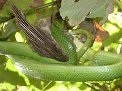 SDC12834 (olivier naldo) Tags: snakes in batanes
