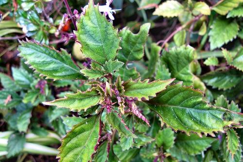 Plectranthus 'Mona Lavender' (rq) - 02