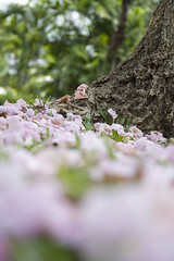 Cherry/Blossom (櫻花)