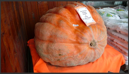 594 lb. pumpkin on display outside Alaska Mill and Feed.