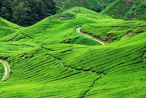 Green Green Tea of Cameron
