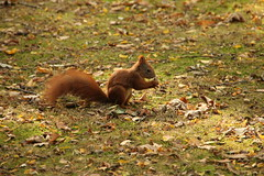 Sciurus vulgaris (Klearchos Kapoutsis) Tags: park poland polska wroclaw redsquirrel wiewirka wrocaw sciurusvulgaris  wiewirkapospolita      parkzachodniwewrocawiu