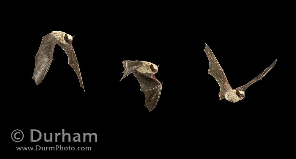 Canyon Bat (Parastrellus hesperus)