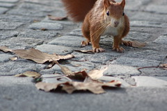 collector (marfis75) Tags: road street autumn rot fall leaves animal zoo squirrel strasse laub herbst natur cc bltter rennen autumnal collecting tier eichhrnchen wilhelma sciurusvulgaris hrnchen tierchen creativecommon strase ccbysa marfis75 collectro gatherrer marfis75onflickr