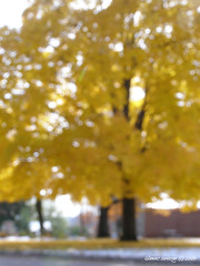 fall-dream-maple-tree-supreme (Glenn! of Dundas) Tags: minnesota fallcolors mapletree dreamscape wabasha