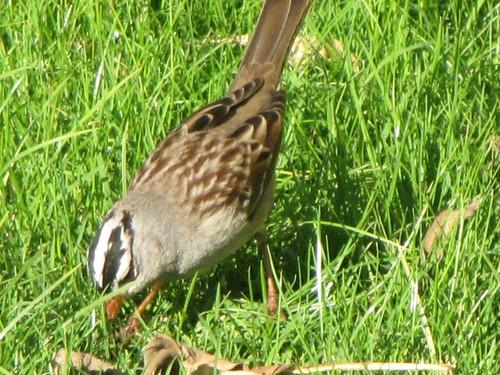 whitecrowned sparrow-1
