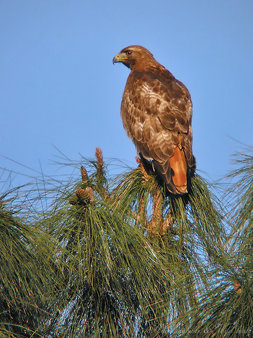 Red-tailed Hawk 010902