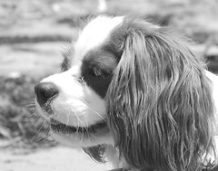 Delilah, Cavalier King Charles Spaniel (amature pictures) Tags: ocean life old pink girls wild baby brown white playing wet beautiful grass female yard swimming swim puppy easter fun back nc pretty king finding wind head egg 9 northcarolina blowing charles gone clothes jacket nagshead sound eggs april spaniel cavalier months 12 pup delilah fetch 2009 doggie lifejacket lifevest floats hunt cavalierkingcharlesspaniel nags easteregghunt cavalierkingcharles nag kingcharlesspaniel ckcs wetgirl wetgirls easterclothes doglifevest findingeggs spanielkingcharles swimminginthesound doggiefloats