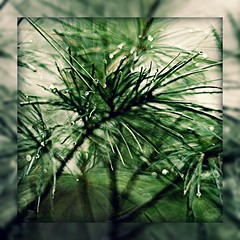 Pine Needles After Rain (MWOOD19) Tags: tree green water lines pine drops needle