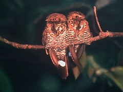 Brazil: Band-tailed Nighthawks (spiderhunters) Tags: fbwnewbird fbwadded nyctiprogneleucopyga bandtailednighthawk nyctiprogne