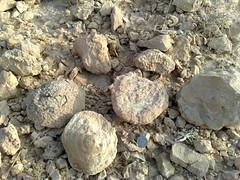 Fossils discovery (makhyal) Tags: saudi arabia malik fossils shahid ksa hussain murtaza ghulam