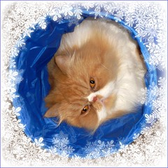 Toby (iwork4toby) Tags: red pet snow cat persian midwest blizzard persiancat redpersian luv2explore