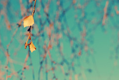sweet november memory (e.kristina) Tags: blue autumn sky tree fall leaves yellow branches birch afhht