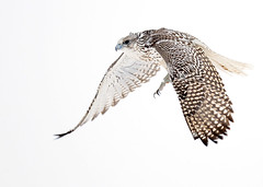 Male White Gyrfalcon In-Flight (Rob McKay Photography) Tags: white snow canada storm calgary birds flying inflight wings nikon photographer mckay hunting flight feather rob alberta falcon nikkor raptors hunt birdsofprey predators gyrfalcon falcorusticolus cagary wwwbokehensteincom wwwrobmckayphotographycom bokehensteincom robmckayphotographycom