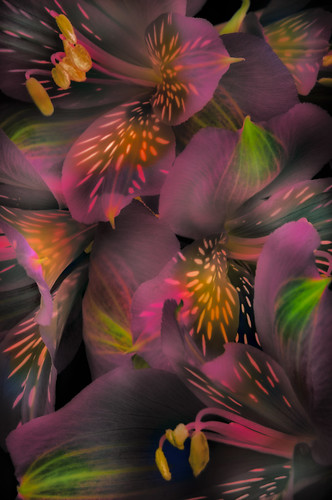 Alstroemeria Medley