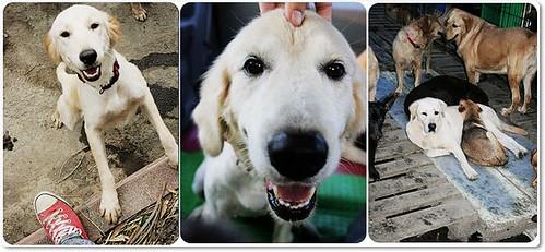 20091221「募旅費」3隻從收容所救出的黃金獵犬和拉拉,美東找到好人家了,現在尚缺機票,捐助運輸籠也是可以,懇請支援,轉PO也是很重要,謝謝您~