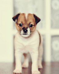 Keep me... (txhippichic) Tags: 6 brown white black puppy 50mm nikon naturallight weeks niftyfifty hbw d300s