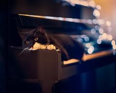 164 | 365 (angiel) Tags: reflection cat nikon shiny bokeh piano kitty 85mm tuxedocat fairylights rockie sadface pianocat 2011 angiel 365project camouflagecat d700 belatedhbm notsurewhatsortofdealhehasworkedoutwiththekids pianopracticesaboteurextraordinaire