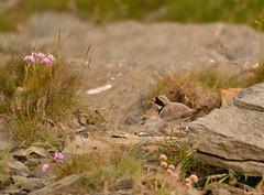 Ringed Plover (Charadrius hiaticula) (DavLovett17) Tags: orkney scotland nature bird ringedplover charadriushiaticula rspb