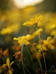 Standing Tall ... (Hazem Hafez) Tags: flower garden yellow green greenery sun sunlight leaves stem