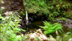 Stream with Ferns at Heritage Grove Redwood Preserve in La Honda, California (SCVHA) Tags: california commemorative lahonda heritagegrove redwoodpreserve