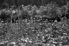 Badger Prairie County Park (Madison Guy) Tags: flowers blackandwhite bw nature wisconsin daisies meadow verona sunflowers wildflowers prairie wi contrejour backlighting badgerprairiecountypark