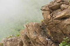岩場に咲くエゾコウゾリナ