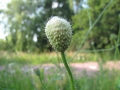 A budding Poppy