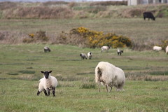 April 09 IRISH land 288 (ingridli24) Tags: countymayo april09irishland easterlambsinireland