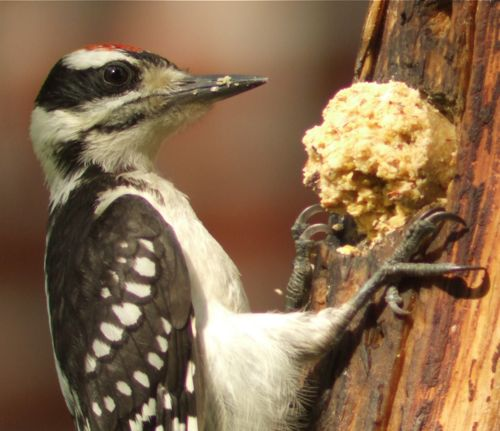 young hairy woodpecker