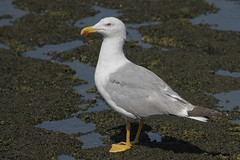 The Yobbo o' tha Marsh (ignicapillus) Tags: bird birding aves birdwatching laridae yellowleggedgull larusmichahellis gabbianoreale gabbianorealemediterraneo gabbianorealezampegialle